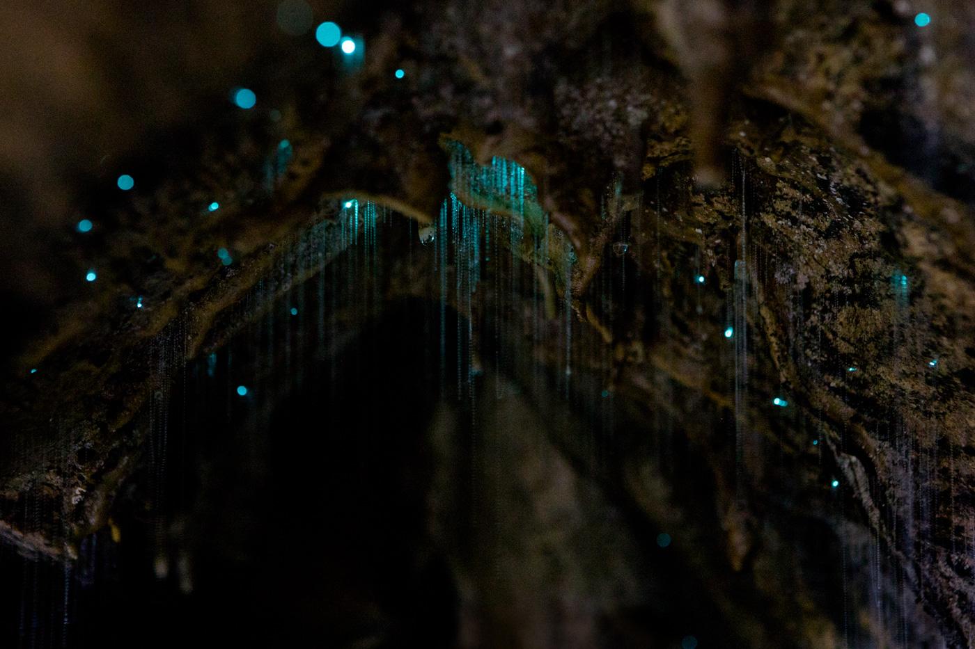 Glow worms, Abbey Caves, Northland, New Zealand